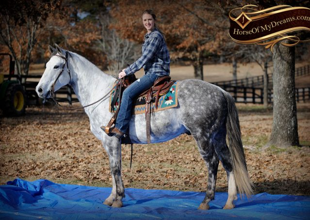 016-Sam-Fancy-Beautiful-Dappled-Gray-Grey-AQHA-Quarter-Horse-Gelding-For-Sale-Trail-Beginner-Family