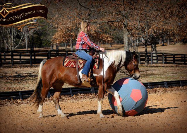 017-Henry-Reno-Paint-Draft-Cross-Gelding-Horse-Beginner-Trail-For-Sale