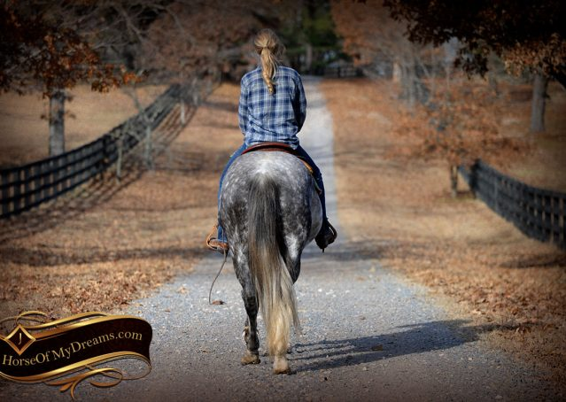 017-Sam-Fancy-Beautiful-Dappled-Gray-Grey-AQHA-Quarter-Horse-Gelding-For-Sale-Trail-Beginner-Family