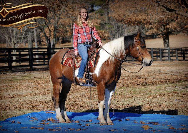 018-Henry-Reno-Paint-Draft-Cross-Gelding-Horse-Beginner-Trail-For-Sale
