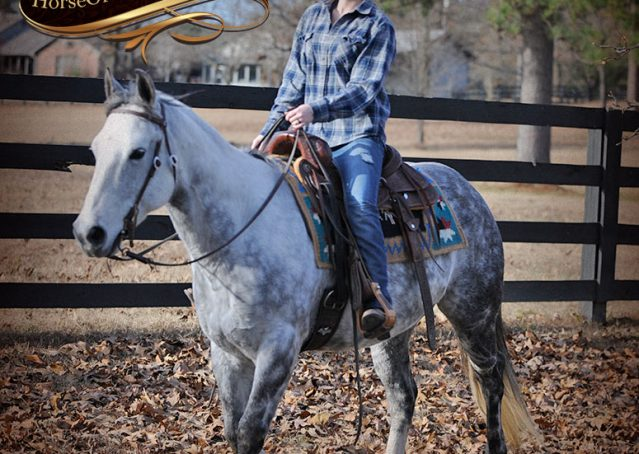 019-Sam-Fancy-Beautiful-Dappled-Gray-Grey-AQHA-Quarter-Horse-Gelding-For-Sale-Trail-Beginner-Family