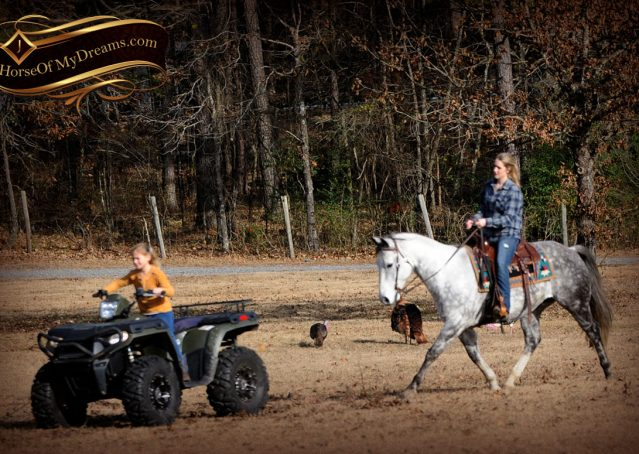 021-Sam-Fancy-Beautiful-Dappled-Gray-Grey-AQHA-Quarter-Horse-Gelding-For-Sale-Trail-Beginner-Family