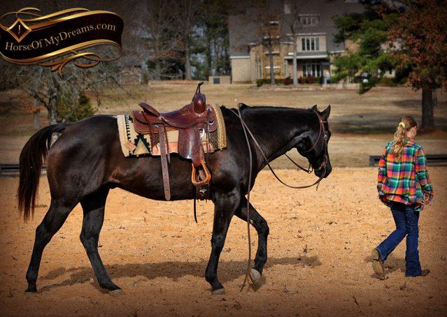 022-Onyx-Black-Quarter-Horse-Gelding-For-Sale