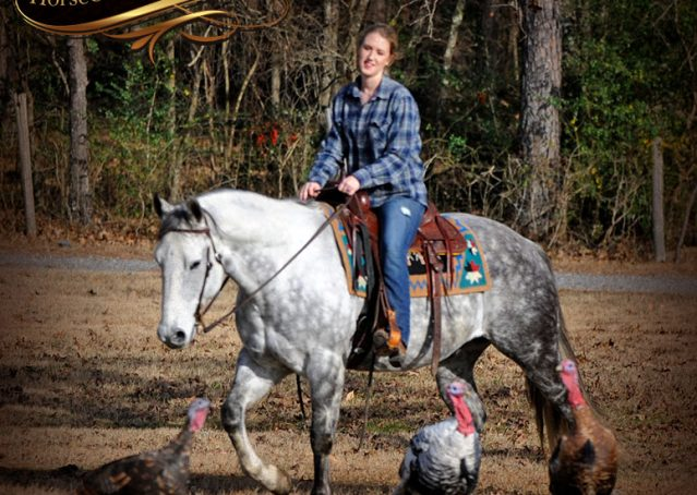 022-Sam-Fancy-Beautiful-Dappled-Gray-Grey-AQHA-Quarter-Horse-Gelding-For-Sale-Trail-Beginner-Family