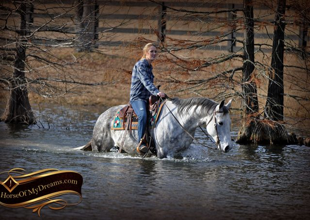 024-Sam-Fancy-Beautiful-Dappled-Gray-Grey-AQHA-Quarter-Horse-Gelding-For-Sale-Trail-Beginner-Family