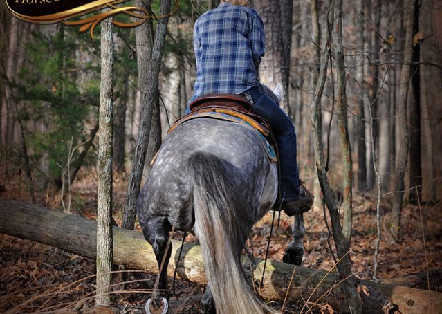 026-Sam-Fancy-Beautiful-Dappled-Gray-Grey-AQHA-Quarter-Horse-Gelding-For-Sale-Trail-Beginner-Family