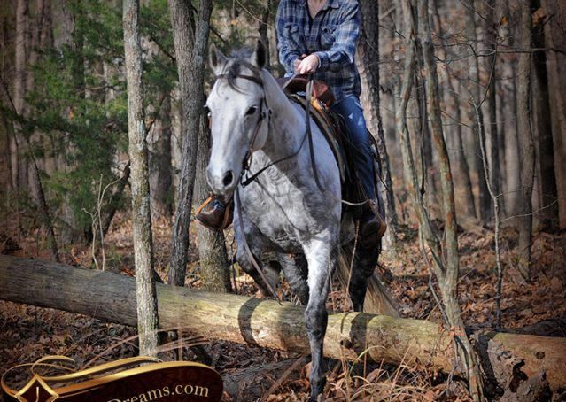 027-Sam-Fancy-Beautiful-Dappled-Gray-Grey-AQHA-Quarter-Horse-Gelding-For-Sale-Trail-Beginner-Family