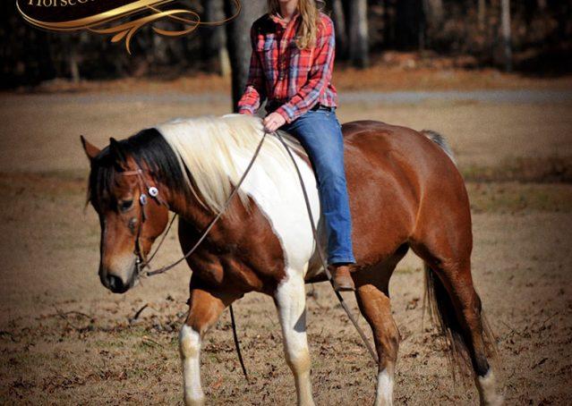 028-Henry-Reno-Paint-Draft-Cross-Gelding-Horse-Beginner-Trail-For-Sale