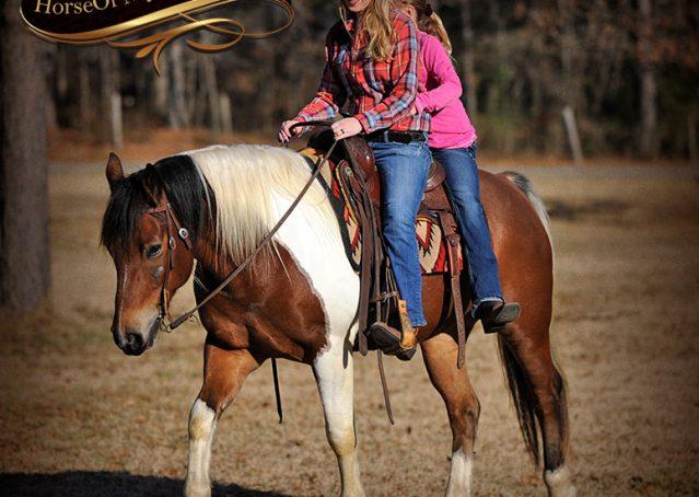 031-Henry-Reno-Paint-Draft-Cross-Gelding-Horse-Beginner-Trail-For-Sale