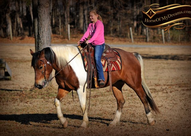 032-Henry-Reno-Paint-Draft-Cross-Gelding-Horse-Beginner-Trail-For-Sale