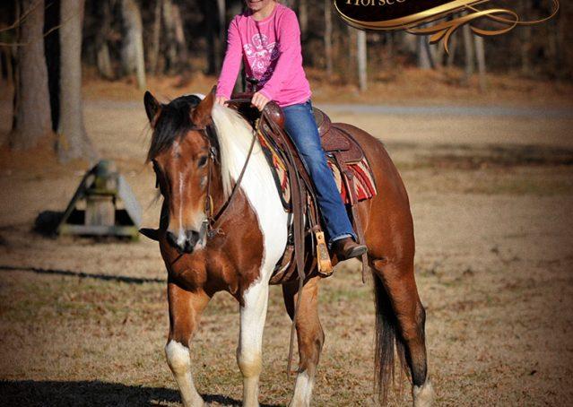033-Henry-Reno-Paint-Draft-Cross-Gelding-Horse-Beginner-Trail-For-Sale