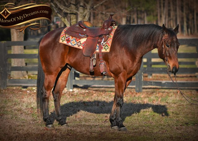 003-Cash-Bay-AQHA-gelding-for-sale