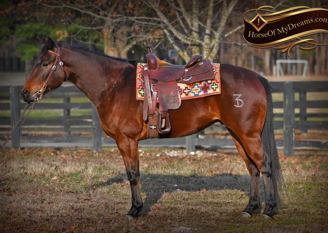 004-Cash-Bay-AQHA-gelding-for-sale