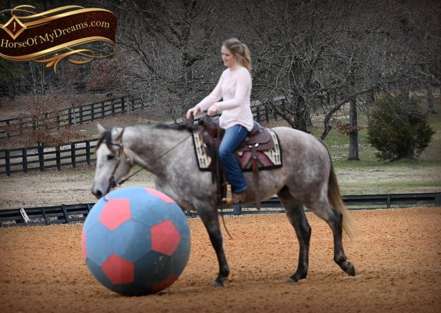 005-Sterling-Grey-AQHA-Quarter-Horse-trail-family-bombproof-for-sale