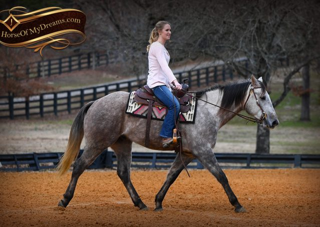 008-Sterling-Grey-AQHA-Quarter-Horse-trail-family-bombproof-for-sale