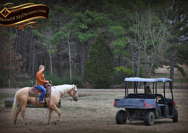 013-Odie-AQHA-Palomino-Gelding-For-Sale
