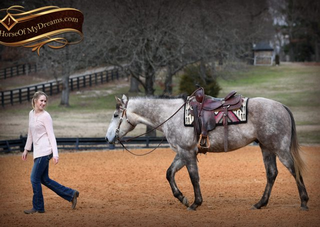 013-Sterling-Grey-AQHA-Quarter-Horse-trail-family-bombproof-for-sale
