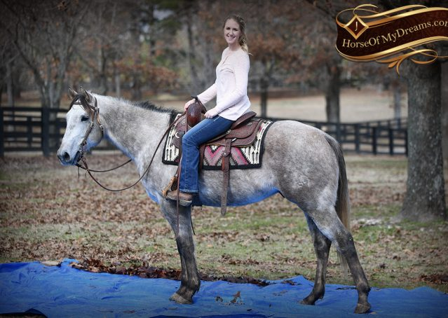 017-Sterling-Grey-AQHA-Quarter-Horse-trail-family-bombproof-for-sale