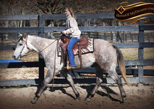019-Sterling-Grey-AQHA-Quarter-Horse-trail-family-bombproof-for-sale