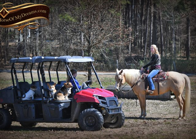 020-Shiner-Golden-Palomino-AQHA-NRHA-Reiner-Reining-Quarter-Horse-Gelding-For-Sale
