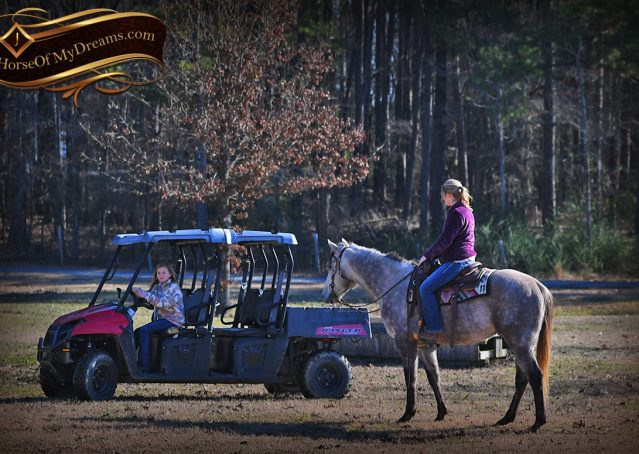 020-Sterling-Grey-AQHA-Quarter-Horse-trail-family-bombproof-for-sale