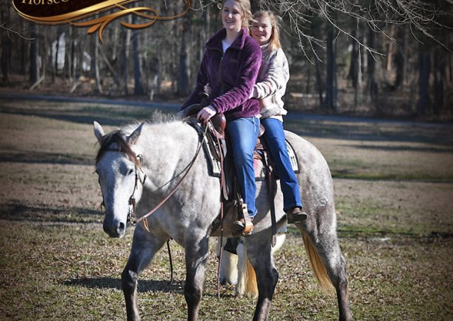 022-Sterling-Grey-AQHA-Quarter-Horse-trail-family-bombproof-for-sale