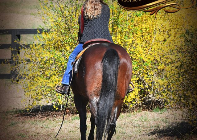 023-Cash-Bay-AQHA-gelding-for-sale