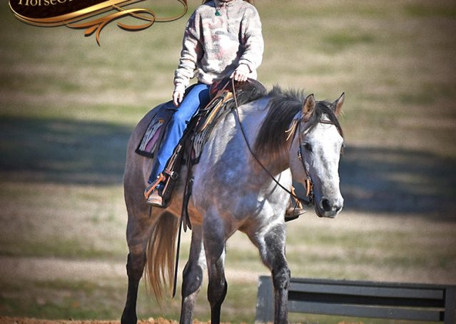 023-Sterling-Grey-AQHA-Quarter-Horse-trail-family-bombproof-for-sale