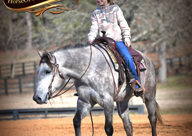 024-Sterling-Grey-AQHA-Quarter-Horse-trail-family-bombproof-for-sale