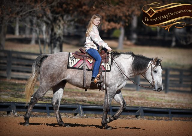 025-Sterling-Grey-AQHA-Quarter-Horse-trail-family-bombproof-for-sale