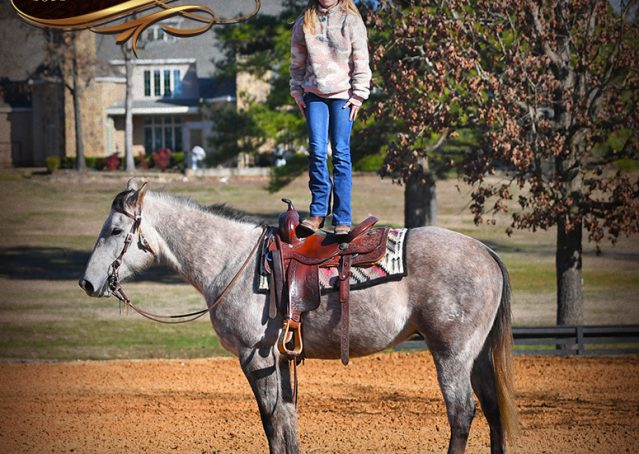 026-Sterling-Grey-AQHA-Quarter-Horse-trail-family-bombproof-for-sale