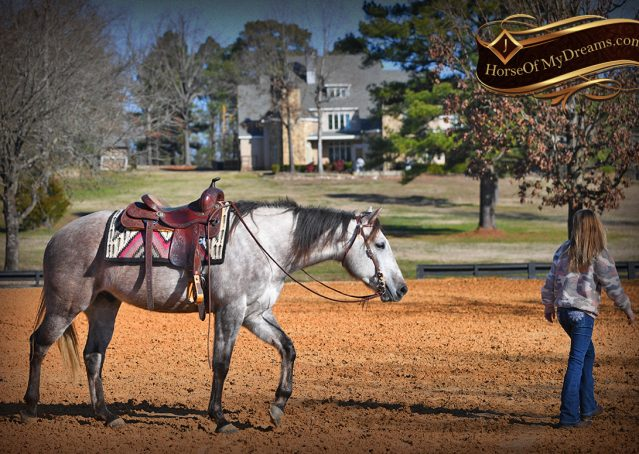 028-Sterling-Grey-AQHA-Quarter-Horse-trail-family-bombproof-for-sale