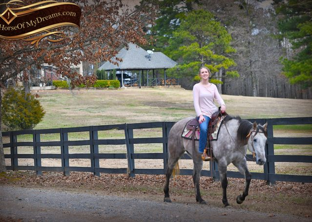 034-Sterling-Grey-AQHA-Quarter-Horse-trail-family-bombproof-for-sale