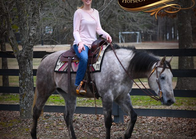 035-Sterling-Grey-AQHA-Quarter-Horse-trail-family-bombproof-for-sale