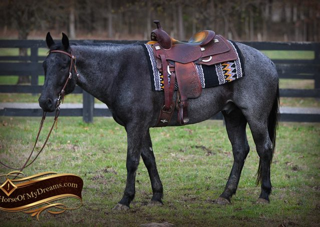 001-Barron-Blue-Roan-Quarter-Horse-Gelding-For-Sale