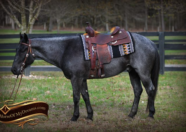 002-Barron-Blue-Roan-Quarter-Horse-Gelding-For-Sale
