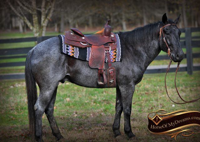 003-Barron-Blue-Roan-Quarter-Horse-Gelding-For-Sale