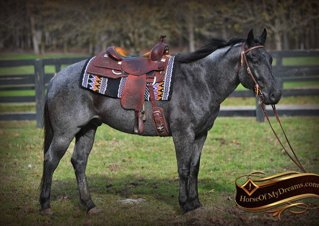 005-Barron-Blue-Roan-Quarter-Horse-Gelding-For-Sale