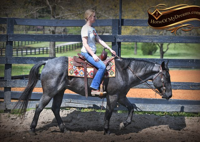 007-Barron-Blue-Roan-Quarter-Horse-Gelding-For-Sale