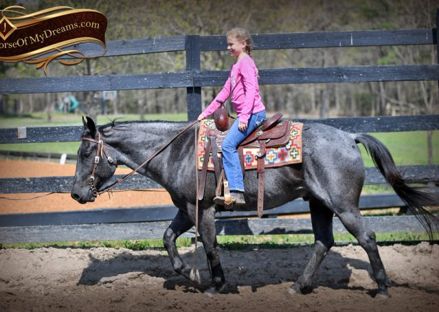 008-Barron-Blue-Roan-Quarter-Horse-Gelding-For-Sale
