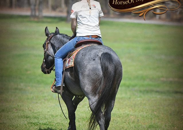 009-Barron-Blue-Roan-Quarter-Horse-Gelding-For-Sale