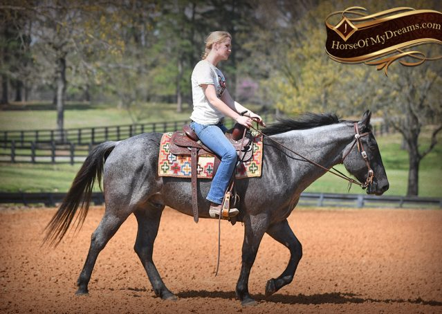 010-Barron-Blue-Roan-Quarter-Horse-Gelding-For-Sale