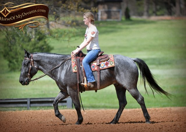 011-Barron-Blue-Roan-Quarter-Horse-Gelding-For-Sale