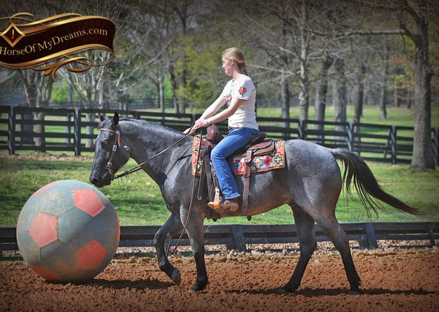 012-Barron-Blue-Roan-Quarter-Horse-Gelding-For-Sale