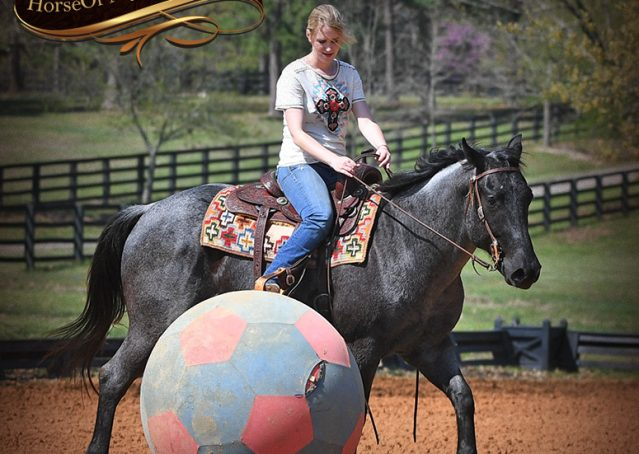 013-Barron-Blue-Roan-Quarter-Horse-Gelding-For-Sale