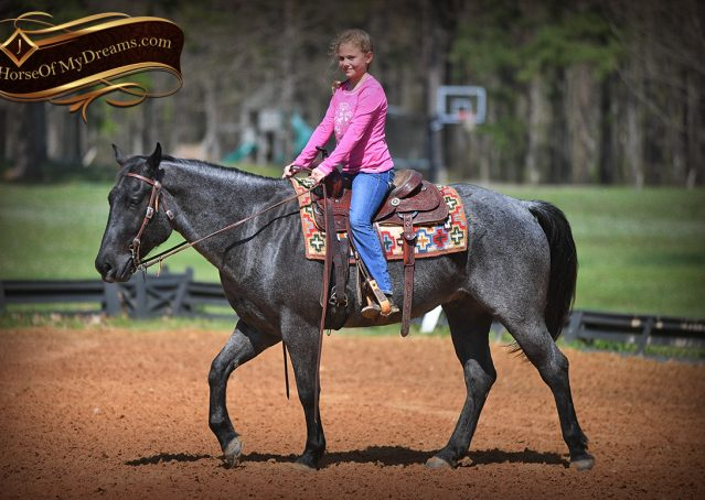 016-Barron-Blue-Roan-Quarter-Horse-Gelding-For-Sale