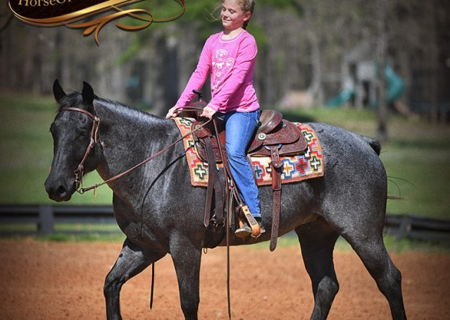 017-Barron-Blue-Roan-Quarter-Horse-Gelding-For-Sale