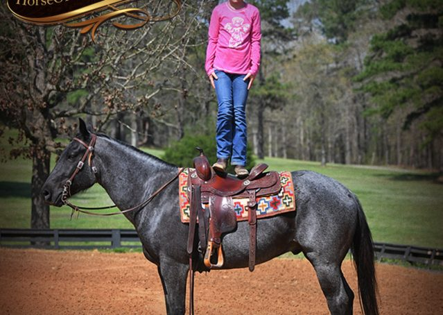 018-Barron-Blue-Roan-Quarter-Horse-Gelding-For-Sale