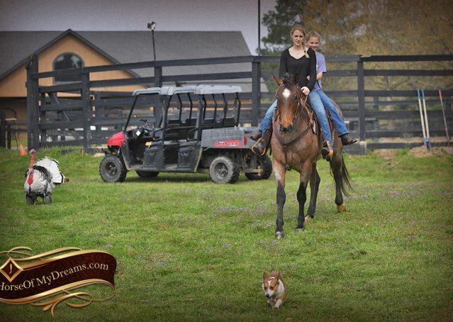 026-Levi-Bay-Roan-Quarter-Horse-For-Sale