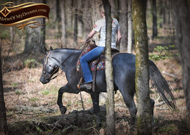 031-Barron-Blue-Roan-Quarter-Horse-Gelding-For-Sale
